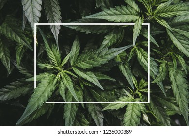 Mature Marijuana Plant with Bud and Leaves. Texture of Marijuana Plants at Indoor Cannabis Farm. Cannabis Plants Growing Indoor with Big Marijuana Buds