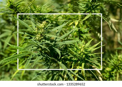 Mature marijuana plant with bud and leaves. Cannabis farm marijuana plant texture. Cannabis plants growing indoors with large marijuana buds White frame