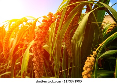 Mature millet in the farmland