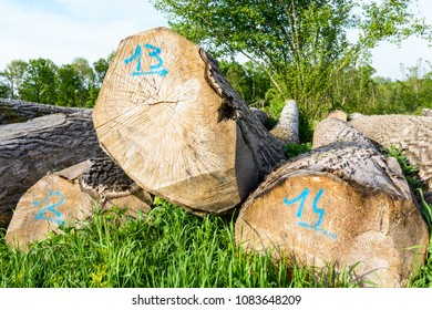 Mature oak tree trunks recently cut, lined up on the ground at the edge of the forest in France and marked with a number handwritten in blue paint on the section.