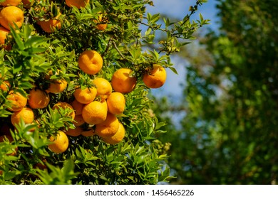 Mature orange hanging on the tree at Los Angeles, California