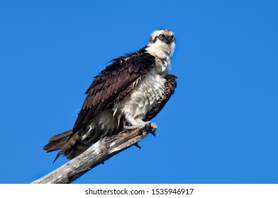 A mature osprey ruffles his feathers perched on a dead branch against a clear, blue sky.