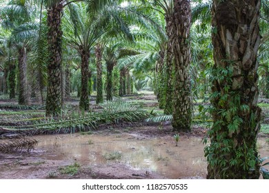 A mature palm oil plantation