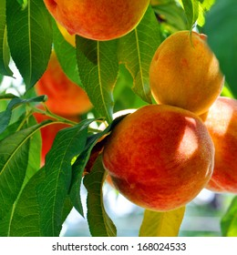 mature peaches growing among green leaves