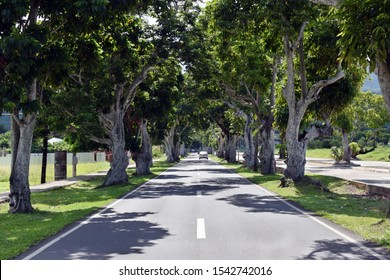 Mature Pili trees planted along asphalted road