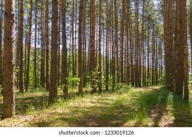Mature pine plantation