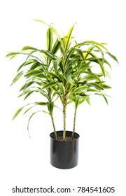 Mature Potted Dracaena Warneckii, Lemon Lime Variety Isolated on White