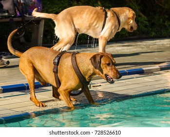 Mature purebred red German Pinscher dog about to jump into a public swimming pool on a sunny late summer's day.