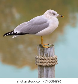 A mature Ring- billed Gull (Larus delawarensis) at Lake Erie's Port Conneaut, Ohio.
