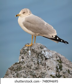 A mature Ring- billed Gull (Larus delawarensis) on a rock at Lake Erie's Port Conneaut, Ohio.
