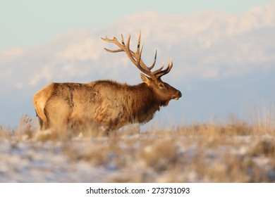 A mature Rocky Mountain elk bull pauses in the afternoon sun as he marches through the high country of Montana.