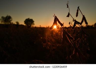 Mature soybean pods, back-lit by evening sun