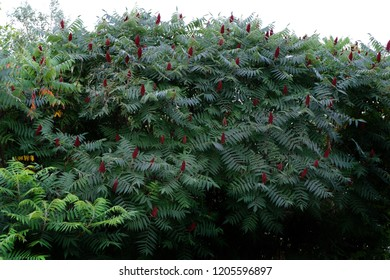 A mature Staghorn Sumac. (Rhus Typhina) A species of flowering plant in the family Anacardiaceae, native to eastern North America.