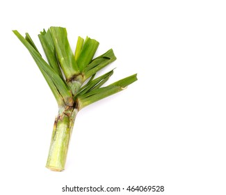 Mature sugar cane top isolated over white background. It is one of the main by-products of sugarcane milling. Organic raw food concept background with copyspace.