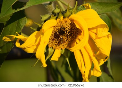 mature sunflower and bees