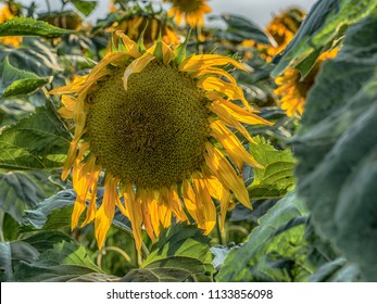 Mature sunflower on a field of sunflowers near Warsaw