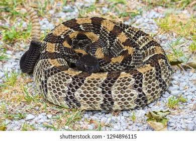 A mature Timber Rattlesnake in a defensive pose