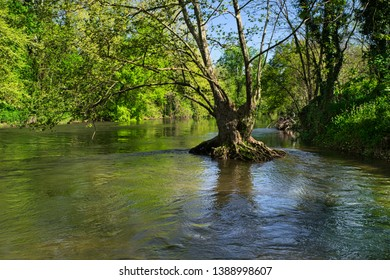 Mature tree surrounded by fast flowing flood water