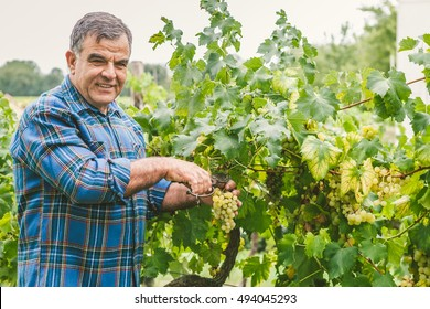 Mature Vintner Cutting Grapes for the Harvesting