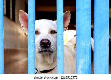 Mature white watchdog is waiting owner and looking at camera behind the old blue gate