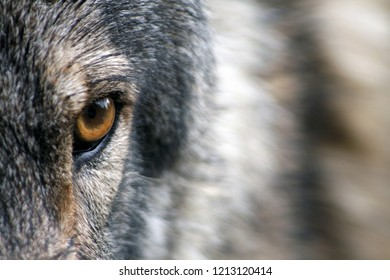 A mature Wolf's eyes are often amber/brown or gold, but also commonly come in hues of brown, gray, yellow, and green. A Wolf's night vision is far superior to that of a human being.