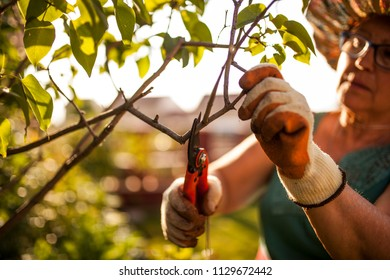 mature woman gardener, pruning the branches of a tree in her garden in the light of dusk