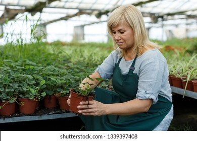 Mature woman  horticulturist working with seedlings of strawberries while gardening in greenhouse