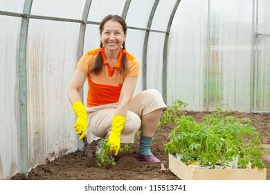 Mature woman planting tomato spouts in greenhouse