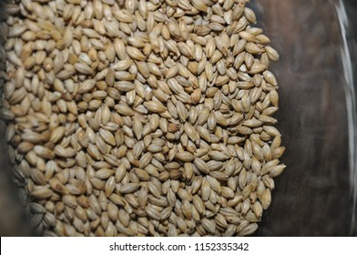 Matured malted barley ready for stepping and germination