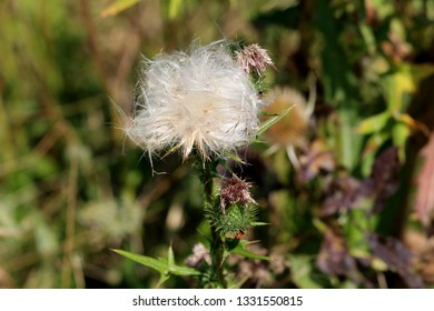 Matured and open Greater burdock or Arctium lappa or Edible burdock or Lappa or Gobo or Beggars buttons or Thorny burr or Happy major biennial plants flower head started to dispose seeds
