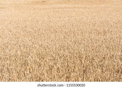 Matured wheat corn field background image