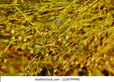 Maturing flax, almost ready to harvest. Flax field in summer. Background and texture of gold cereal seeds.Close-up of a macro.