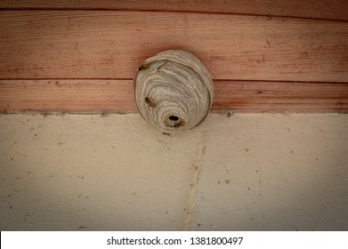 A maturing wasp nest built under the eaves of a roof in Somerset, England by the paper wasp species Dolichovespula sylvestris, also known as the tree wasp.