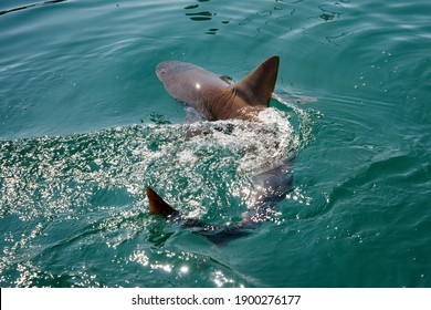 "Maui, Hawaii.   Sandbar shark, ""Carcharhinus plumbeus""  swimming in the pacific ocean near the town of Lahaina.  - Shutterstock ID 1900276177"