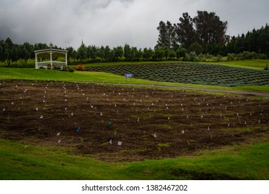 MAUI, HAWAII/U.S.A. - OCTOBER 22, 2018: A view of new lavender plants in a field upcountry at Alii Kula Lavender Farm.
