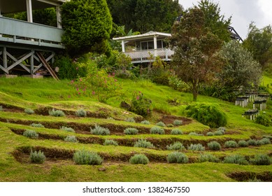 MAUI, HAWAII/U.S.A. - OCTOBER 22, 2018: A view of small lavender plants terraced on a hillside upcountry at Alii Kula Lavender Farm.