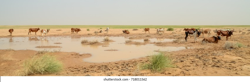 Mauritanian cattle with bulls and cows in the Sahara desert at waterhole, Mauritania, North Africa