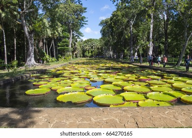 MAURITIUS, MAY 24, 2017.   Giant Water Lilies in Pamplemousse, the National Botanical Garden of Mauritius on May 24th 2017.