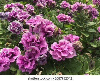 Mauve double petalled petunias