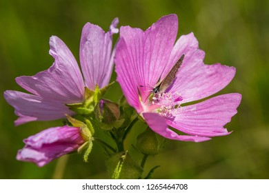 Mauve mallow flower, Malva alcea, growing in a meadow, blue butterfly sitting on petals, close up image, bright sunny summer day