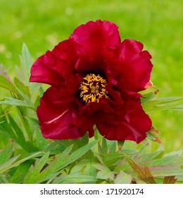 Mauve peony flower (Paeonia suffruticosa)