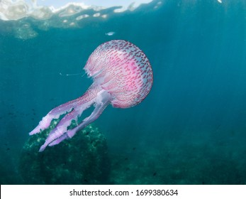 A Mauve stinger jellyfish (Pellagia noctiluca) floating in the current of the mediterranean sea.The sting of this jellyfish can be very painful.