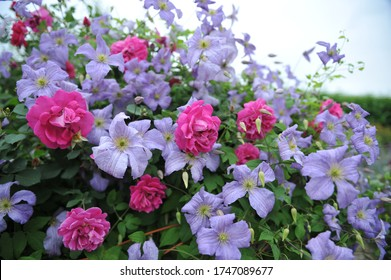 Mauve-pink english shrub rose Tam o'Shanter blloms in a garden together with a small-flowered blue-violet Clematis viticella (purple clematis) Emilia Plater in June 2017