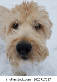 Max the Wheaten Terrier plays in the snow