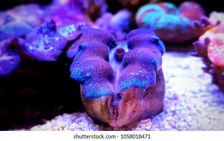 Maxima purple Clam