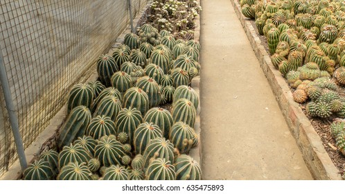 May 02,2017. Round shaped cactus with selective focus in summer at Pine View nursery, Kalimpong, West Bengal, India.