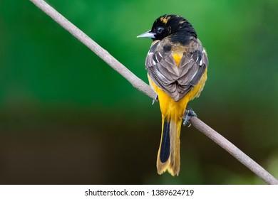 May 1, 2019 Windsor Ontario Canada Ornithology Birds Baltimore Oriole Perch Natural Background Bokeh