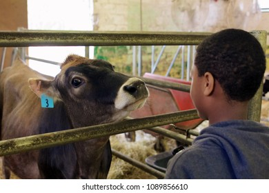 May 11, 2013 - Philadelphia, PA, USA: A boy and a cow ponder one another at the W. B. Saul High School for Agricultural Sciences in Philadelphia, Pennsylvania.