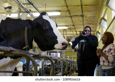 May 11, 2013 - Philadelphia, PA, USA: A girl is awed by getting close to a Holstein cow at the W. B. Saul High School for Agricultural Sciences in Philadelphia, Pennsylvania.