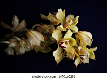 May 12, 2019, Southern CA, USA: Yellow cymbidium orchid strand with huge blossoms on a black background